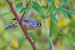 Tufted Titmouse (PhillymanPete) Tags: bird palmyracovenaturepark songbird titmouse wildlife tuftedtitmouse summer nature palmyra newjersey unitedstates us nikon d800e