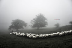 Hacia el valle (EXPLORE) (Jabi Artaraz) Tags: arimekorta gorbeia mendia montaa rebao ovejas hayas hayedo rboles camino bruma niebla pastor nature landscape paisaje natura