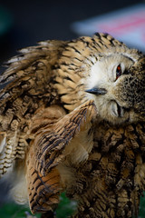 owlin' about (nerdommeetsboy) Tags: nature owl animal cute warwickshire