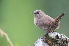 Musarrindill - Winter Wren_0918 (Sigurjn Einarsson) Tags: winterwre winter wren iceland nikon d4 nikond4 nikon500mmf4 birds msarrindill haust autumn sland