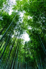Looking up the Bamboo Grove (PVT Photography) Tags: arashiyama bamboo grove arashiyamabamboogrove bamboogrove  sagano kyoto japanese asia pvtinc pvtphotography pvt landscape perspective bambooforest  nature green