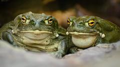 Two Toads (kuhnmi) Tags: nature animal animals zoo schweiz switzerland tiere colorado couple wildlife pair zurich natur paar amphibian toads toad zrich tier bufo prchen krten krte amphibien tierwelt zoozrich coloradorivertoad bufoalvarius zoozurich alvarius coloradokrte