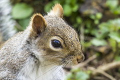 Squirrel (Charliebubbles) Tags: