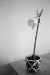Flower (miguel_m83) Tags: leica 50mm 14 150 mc epson 100 v600 m2 apx nokton voigtlnder adonal