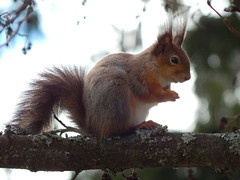 The thinking squirrel (Jason **) Tags: red tree wil nature beautiful animal rodent nikon squirrel eating wildlife coolpix orava eichhörnchen redsquirrel scoiattolo écureuil eekhoorn リス orav voverė катерица íkorna iskojjattlu