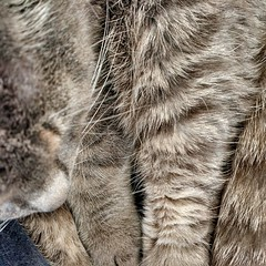 grey paws (milov) Tags: hairy cats animals hair phonecam square fur grey soft stripes gray whiskers cropped paws banks motox tweetme fbme instagram