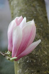 Magnolienblten verschnern den Baumstamm (Poesia's Picture's) Tags: spring april magnolien 2015 frhling