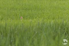 Duck (neco.w) Tags: green bird field grass duck rice paddy philippines hide fields hiding paddies paddys