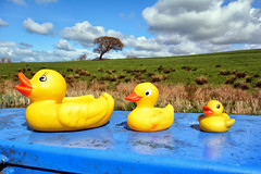 Rubber Ducks Day Out (Jason Connolly) Tags: ducks rubber rubberducks