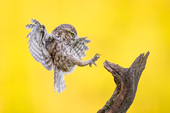 Little Owl (iesphotography) Tags: uk news bird nature canon wildlife flight conservation owl birdwatching owls birdofprey naturephotography birdlife wildbirds littleowl birdphotography greatnature naturephoto wildlifephotography canonphotography 500mmf4 1dx canon1dx allmightybirds greettheoutdoors