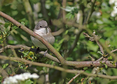A87A2847 Lesser whitethroat (steve.ray50) Tags: sandwich 2015
