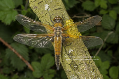 IMG4997 Four spotted chaser (Pete.L .Hawkins Photography) Tags: four pentax dragonfly spotted chaser