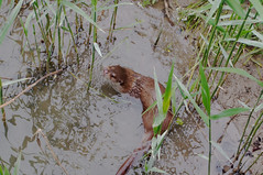 """otter • <a style=""""font-size:0.8em;"""" href=""""https://www.flickr.com/photos/97058259@N02/18090539565/"""" target=""""_blank"""">View on Flickr</a>"""