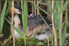 Great Crested Grebe (image 3 of 3) (Full Moon Images) Tags: bird nature saint st river nest wildlife great chick ouse crested cambridgeshire ives grebe greatcrestedgrebe