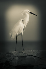 Egret On A Pier (justenoughfocus) Tags: ocean birds animals pier us unitedstates florida bradentonbeach manateecounty