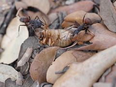 P1030905 (Dr Zoidberg) Tags: hormigas escarabajo zuiko50mmmacro