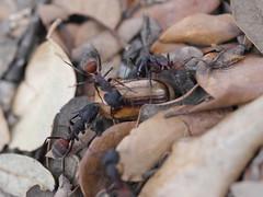 P1030914 (Dr Zoidberg) Tags: hormigas escarabajo zuiko50mmmacro