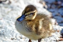 A little duckling... (L.Lahtinen (trying to catch up)) Tags: summer baby cute bird eye nature look suomi finland duck eyes nikon flickr little sweet duckling aquatic waterfowl kesä luonto sorsa nikond3200 söpö d3200 poikanen vesilinnut abigfave suloinen 55300mm 55300mmf4556gvr sorsanpoikanen