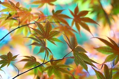 Maple leaves (JPShen) Tags: leaves maple colorful bokeh