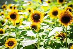 Because its summer and the memories are just waiting to happen (moaan) Tags: flower flowering flora awaji hyogo japan jp sunflower fieldofsunflower up upward bokeh dof utata 2016 awajistraitpark leica mp leicamp type240 summilux 50mm f14 summilux50mmf14asph summer sunlight