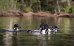 Four Loons_Explore 7.26.16 (maryanne.pfitz) Tags: commonloon gaviaimmer divingbird bird wildlife swimming socializing willowflowage oneidacounty tomahawk wisconsin mapcl1522 maryannepfitzinger