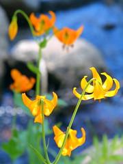IMG_1688 Kelley's Lily (Lilium kelleyanum) (ThorsHammer94539) Tags: sequoia national park