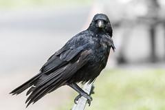 Carrion crow (pstani) Tags: uk england bird london crow corvid regentspark carrioncrow corvuscorone