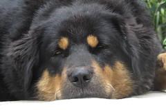 Baghera Gurung (Mayasunita) Tags: dog sheep sheepdog himalayan