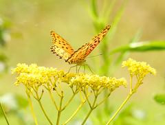 Butterfly (Kashinkoji) Tags: summer nature butterfly nikon outdoor p900 coolpix