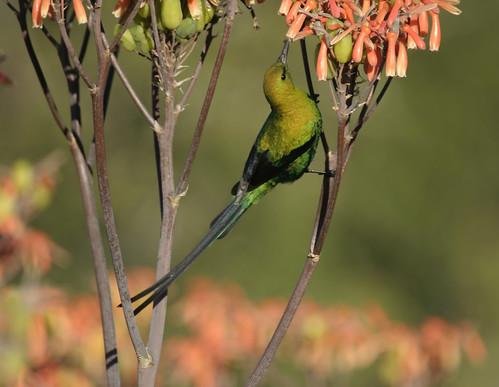 Malachite Sunbird Immature , at Aloe flower, taking Nectar, Addo National Park