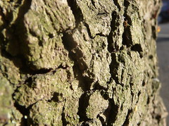 Tree Bark_Earlsdon Avenue South_Earlsdon_Coventry_Jul16 (Ian Halsey) Tags: treebark oldtree tree closeuptoatree geotagged flickr:user=ianhalsey flickriver imagesgooglecom exif:model=panasoniclumixdmctz4 copyright:owner=ianhalsey location:coventry=earlsdon