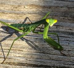 European Mantid (2) (Neil DeMaster) Tags: nature mantis insect prayingmantis mantid europeanmantid