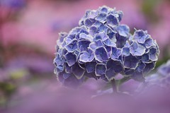 "あじさい (紫陽花) /Hydrangea macrophylla (nobuflickr) Tags: nature japan kyoto hydrangea frower 紫陽花 あじさい hydrangeamacrophylla 宇治市 三室戸寺 blossoms"" awesomeblossoms ""awesome あじさい園 アジサイ科アジサイ属 kyotoprefmimurotojitemple 20160612dsc03051"