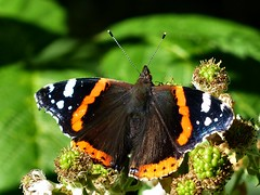 Evening break (sunset1uk) Tags: hangleton brighton hove southdowns england redadmiral butterfly