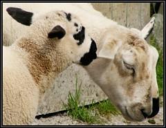 Stay close (Maewynia) Tags: family ireland june sheep lamb tours ewe 2016 celtica