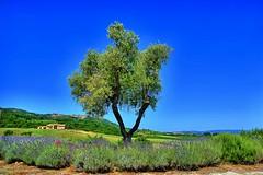 Montalcino (giannipiras555) Tags: panorama cielo montalcino fiori toscana albero azzurro colline papaveri casale lavanda