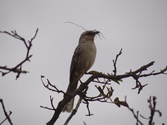 DSC04998 Sabi-Do-Canpo (familiapratta) Tags: bird nature birds brasil iso100 sony natureza pssaro aves pssaros novaodessa novaodessasp hx100v dschx100v