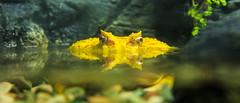 Yellow Frog ? (angolming@gmail.com) Tags: frog toad katak kodok fauna binatang angolming