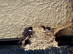twins, poor Mom ;-) (BrigitteE1) Tags: bird birds germany deutschland martin nest bremen vgel vogel nestling migratorybird zugvogel specanimal mehlschwalben mehlschwalbe delichonurbicum koloniebrter twinspoormom colonybreedingbird