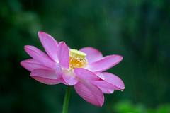 (rosemary*) Tags: 2016 5d tamron90 lotus waterdrops waterdrop