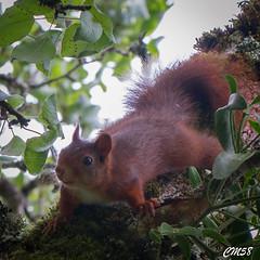 cureuil-6427 (Les Hobbys de Cawol) Tags: red nature squirrel roux cureuil