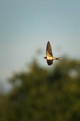 Rauchschwalbe (Teflonjochen) Tags: birds birding 500mm vgel bif schwalbe d300 waiblingen 200500mm rauchschwalbe hegnach nikond300