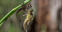 Metamorphosis of a dragonfly (pe_ha45) Tags: metamorphose libelle dragonfly libellulaquadrimaculata vierfleck fourspottedchaser