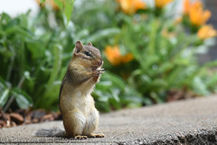 Give me a high five! (dbifulco) Tags: easternchipmunk funny grooming mammal nature newjersey nikkor300f4pfed wildlife yard