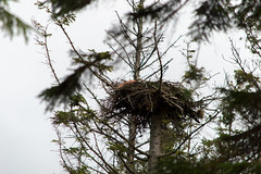 Osprey nest (Ashcroft.Steven) Tags: dumfries dumfriesandgalloway england galloway scotland unitedkingdom birdsofprey greatbritian newgalloway osprey