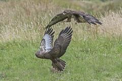 Buzzard (Buteo buteo) (phil winter) Tags: buzzard buteobuteo fighting