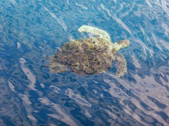 Similan Islands (Scuba Diving), Thailand (Jan-2016) 19-080 (MistyTree Adventures) Tags: mukosimilannationalpark seasia thailand panasoniclumix scubadiving southsimilans turtle seaturtle marinelife