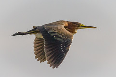 Rainy Day Grab Shot (tresed47) Tags: 2016 201607jul 20160727njforsythebirds birds canon7d content ebforsythenwr folder greenheron heron newjersey peterscamera petersphotos places takenby us