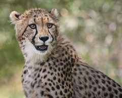 Spots and a Smile (Penny Hyde) Tags: bigcat cheetah cub safaripark flickrbigcats