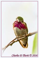 Calliope Hummingbird (Male) (ctofcsco) Tags: 1800 1div 63 800mm atrest calliopehummingbird canon colorado coloradosprings ef400mmf28liiusm ef400mmf28liiusm20x eos1d eos1dmarkiv explore extender extender2x extender2xii green hummingbird magenta male mark4 markiv posing purple supertelephoto teleconverter bokeh explored geo:lat=3893083779 geo:lon=10489145279 geotagged gleneyrie nature northamerica telephoto wildlife unitedstates usa white